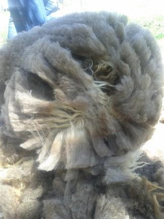 shearing5